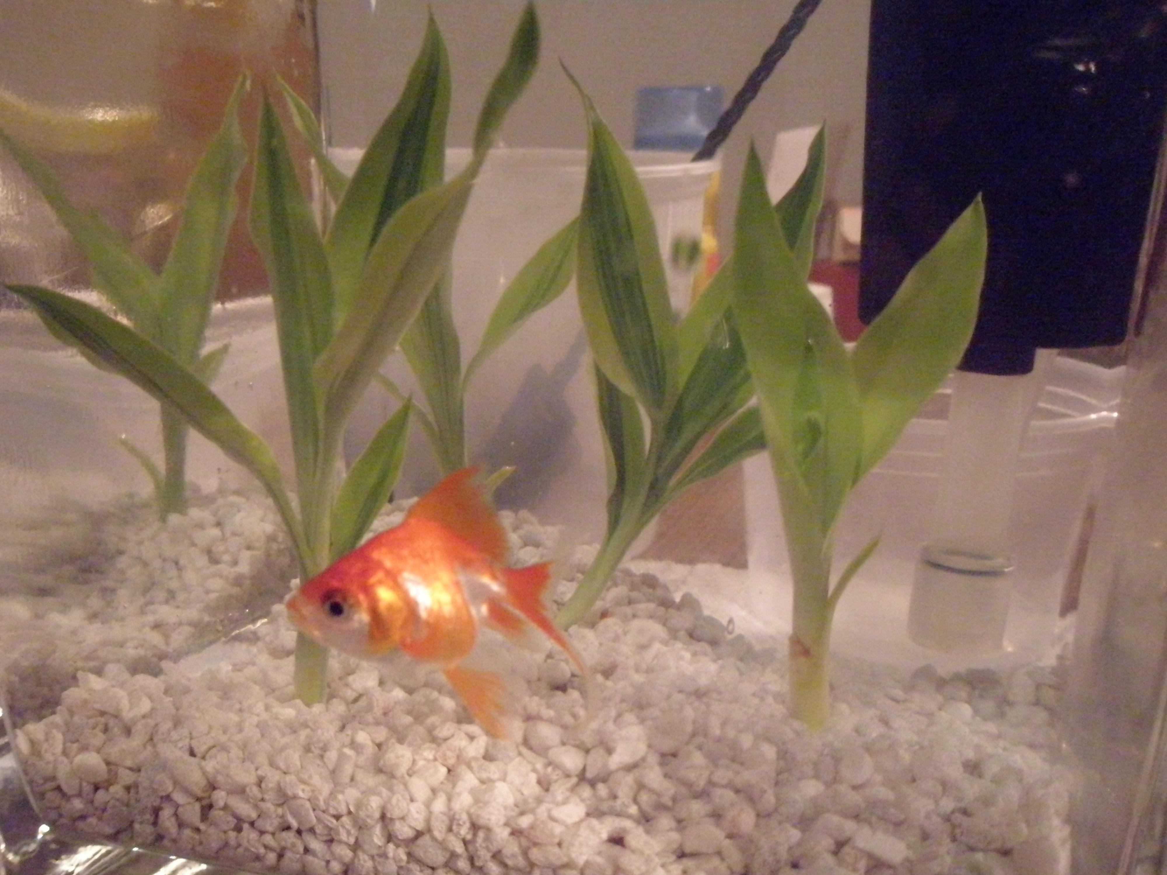goldfish plant. Tags: goldfish, plant