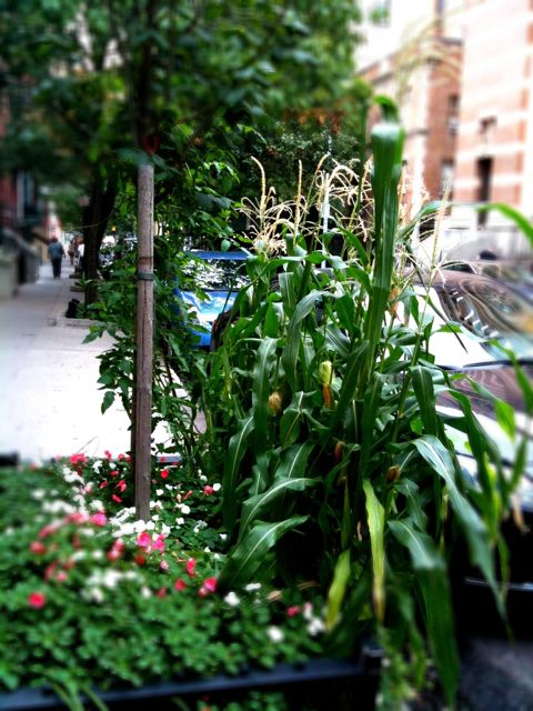 Mini Corn Plant : Plants nummynims